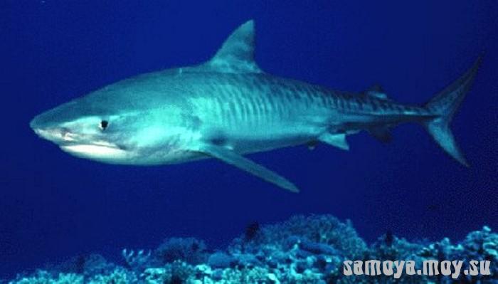Тигровая акула стоит второй белых акул в число нападений на людей.